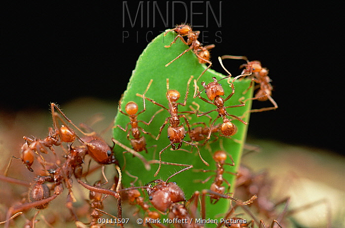 Leafcutter Ant (Atta cephalotes) worker carries leaf with its jaws full, workers carrying leaves must rely on a special cast of smaller ants riding on the leaves to defend against Phorid fly attack, French Guiana  -  Mark Moffett