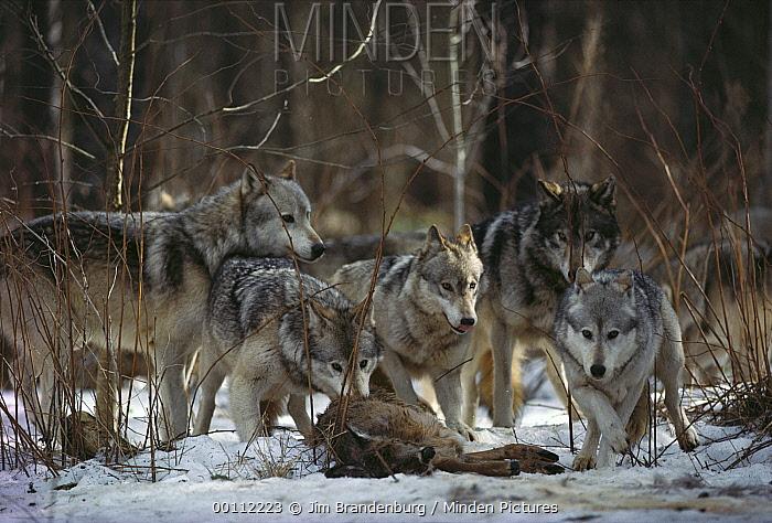 Timber Wolf (Canis lupus) pack feeding at deer kill, Minnesota  -  Jim Brandenburg