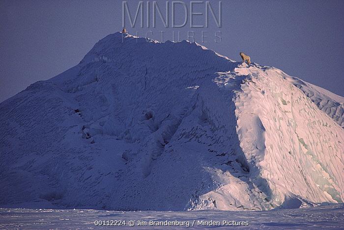 Arctic Wolf (Canis lupus) on top of iceberg, Ellesmere Island, Nunavut, Canada  -  Jim Brandenburg