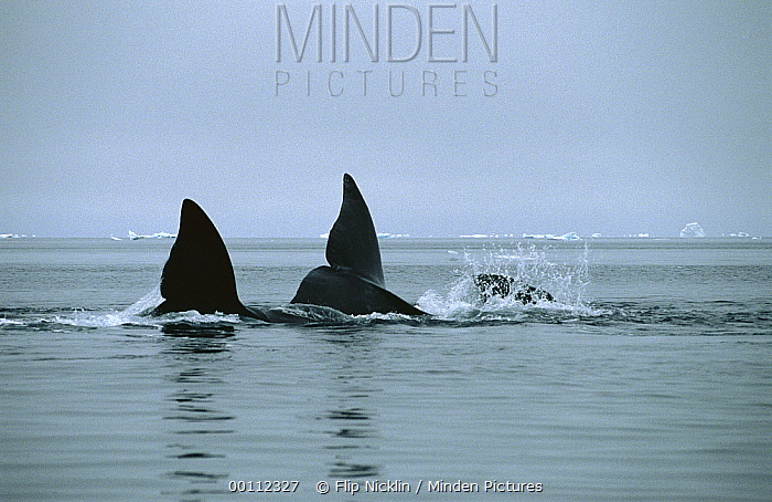 Bowhead Whale (Balaena mysticetus) tails, Isabella Bay, Canada  -  Flip Nicklin