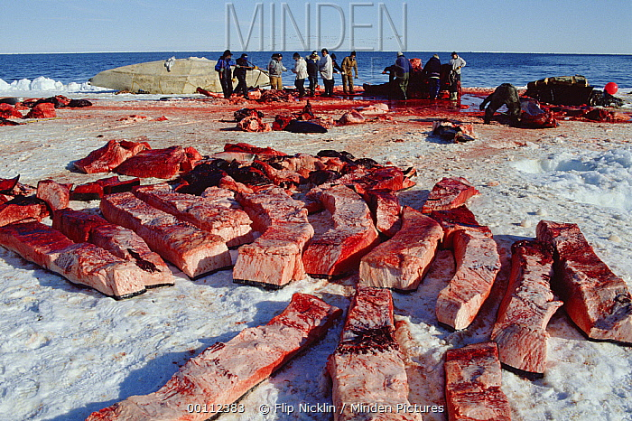 Bowhead Whale (Balaena mysticetus) being flensed by Inuits in the background with muktuk, the skin and outermost layer of skin, displayed on snow, Barrow, Alaska  -  Flip Nicklin