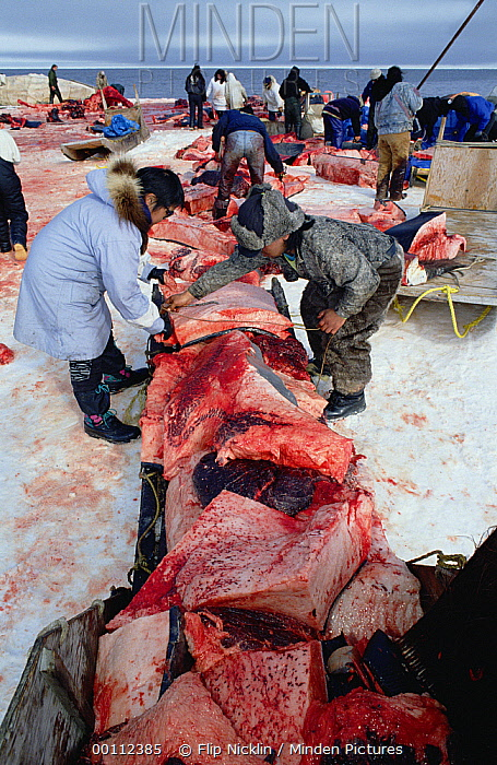 Bowhead Whale (Balaena mysticetus) being flensed by Inuits in background while others load muktuk, the skin and outermost layer of skin, onto sleds, Barrow, Alaska  -  Flip Nicklin