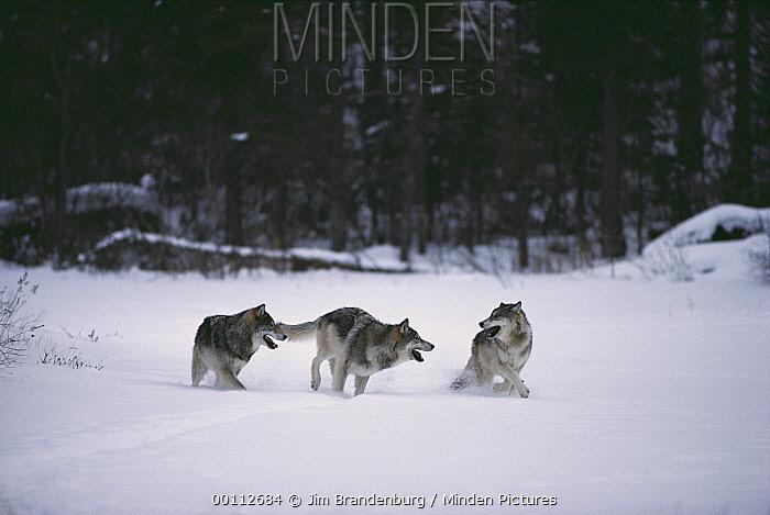 Timber Wolf (Canis lupus) trio playing in snow, Minnesota  -  Jim Brandenburg