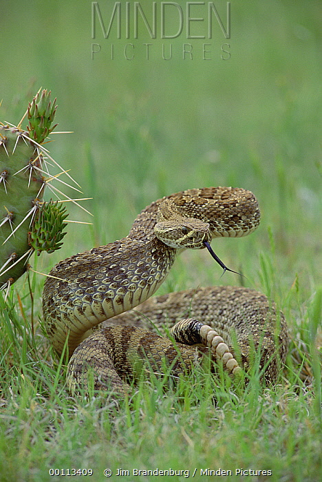 Western Rattlesnake (Crotalus viridis) in defensive posture, South Dakota  -  Jim Brandenburg