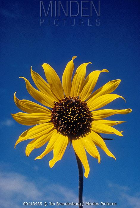 Common Sunflower (Helianthus annuus), South Dakota  -  Jim Brandenburg