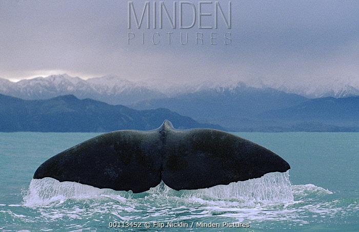 Sperm Whale (Physeter macrocephalus) tail  -  Flip Nicklin