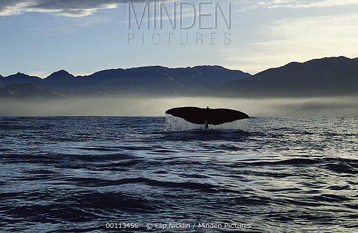Sperm Whale (Physeter macrocephalus) tail, New Zealand  -  Flip Nicklin