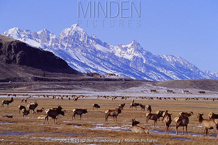 Elk (Cervus elaphus) herd, National Elk Refuge, Jackson Hole, Wyoming  -  Jim Brandenburg