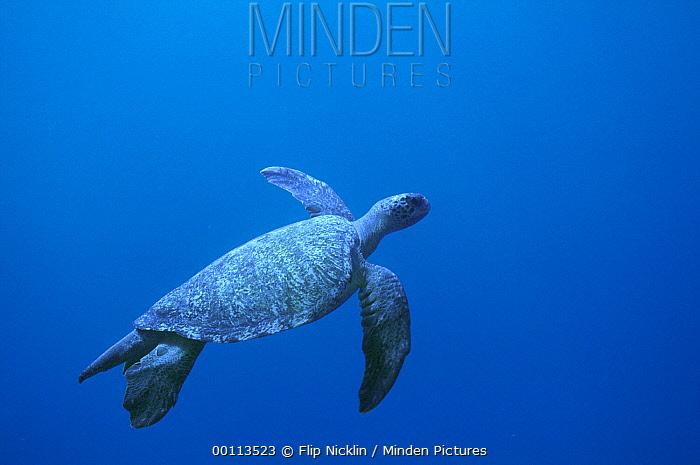Green Sea Turtle (Chelonia mydas) swimming, Cocos Island, Costa Rica