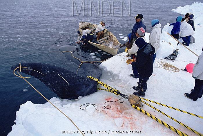 Bowhead Whale (Balaena mysticetus) hunters haul captured whale onto ice, Barrow, Alaska  -  Flip Nicklin