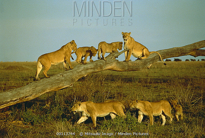 African Lion (Panthera leo) females and cubs playing on fallen tree, Serengeti National Park, Tanzania  -  Mitsuaki Iwago