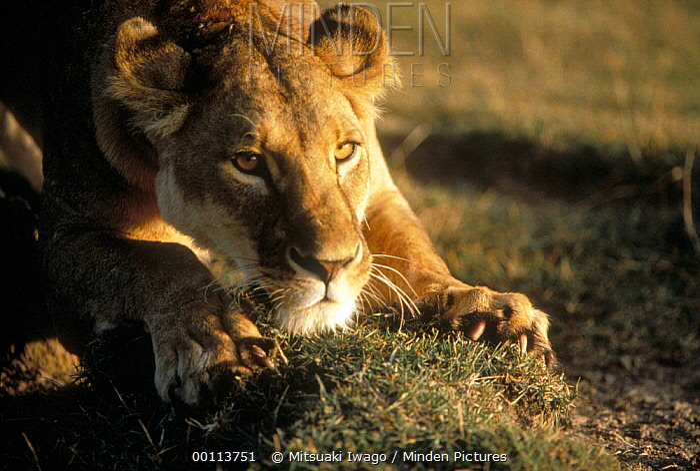 African Lion (Panthera leo) female sharpening claws, Serengeti National Park, Tanzania  -  Mitsuaki Iwago