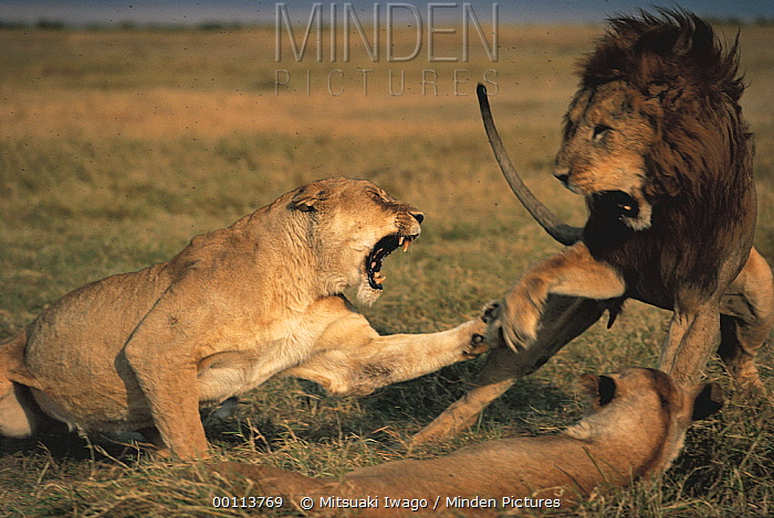 African Lion (Panthera leo) mating pair quarreling, Serengeti National Park, Tanzania  -  Mitsuaki Iwago