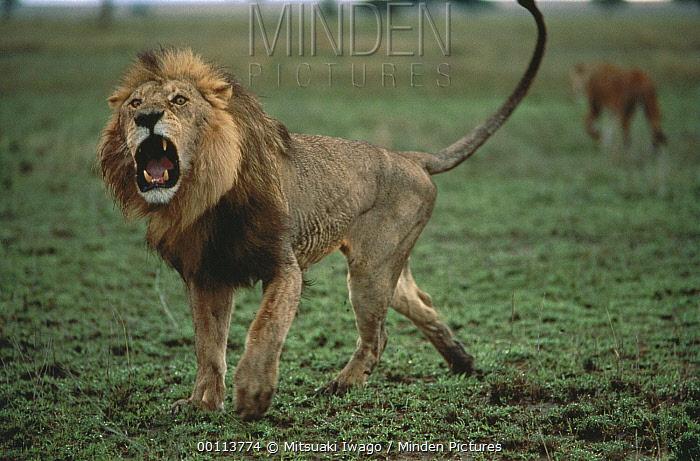 African Lion (Panthera leo) male roaring, Serengeti National Park, Tanzania  -  Mitsuaki Iwago