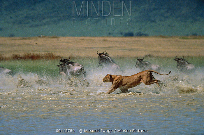 African Lion (Panthera leo) female chasing Blue Wildebeest (Connochaetes taurinus) group in river, Serengeti National Park, Tanzania  -  Mitsuaki Iwago