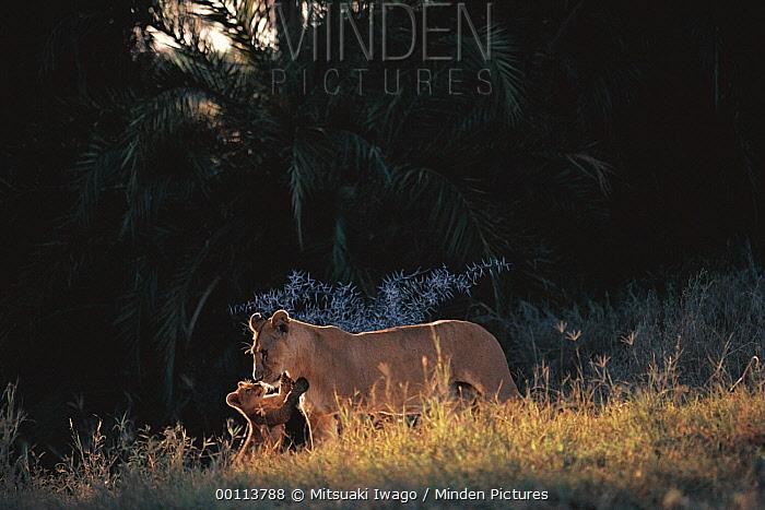 African Lion (Panthera leo) cub playing with mother, Serengeti National Park, Tanzania  -  Mitsuaki Iwago