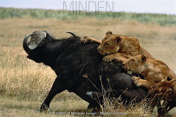 African Lion (Panthera leo) females working together to take down a Cape Buffalo (Syncerus caffer), Serengeti National Park, Tanzania  -  Mitsuaki Iwago
