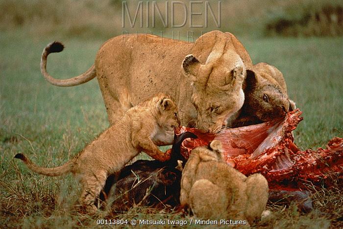 African Lion (Panthera leo) mother and cubs feeding on Cape Buffalo (Syncerus caffer), Serengeti National Park, Tanzania  -  Mitsuaki Iwago