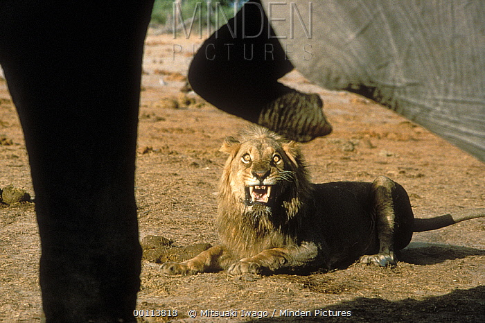 African Lion (Panthera leo) male growling at African Elephant (Loxodonta africana), Serengeti National Park, Tanzania  -  Mitsuaki Iwago