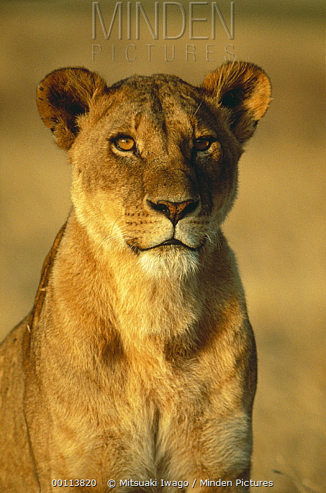 African Lion (Panthera leo) female portrait, Serengeti National Park, Tanzania  -  Mitsuaki Iwago