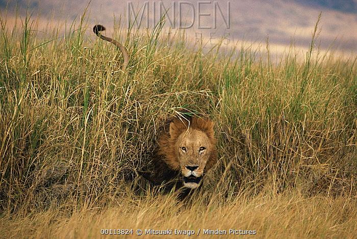 African Lion (Panthera leo) male emerging from tall grass, Serengeti National Park, Tanzania  -  Mitsuaki Iwago
