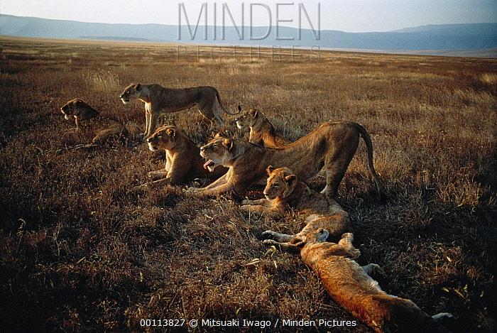 African Lion (Panthera leo) pride stretching after sleep, Serengeti National Park, Tanzania  -  Mitsuaki Iwago