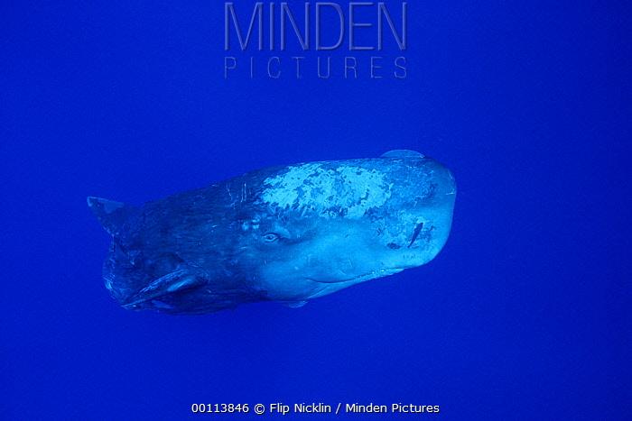 Sperm Whale (Physeter macrocephalus) with Remoras (Remora remora)  -  Flip Nicklin