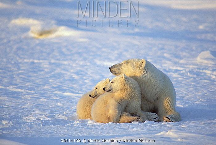 Polar Bear (Ursus maritimus) cubs huddle with mother for warmth, Churchill, Manitoba, Canada  -  Michio Hoshino