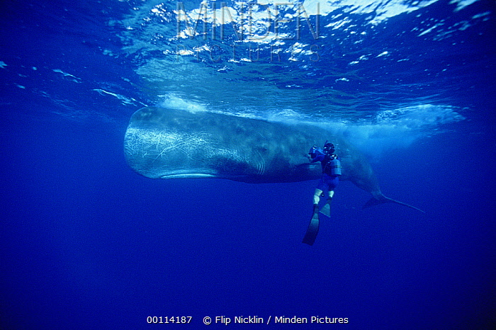 Sperm Whale (Physeter macrocephalus) with film maker Rick Rosenthal, Dominica  -  Flip Nicklin