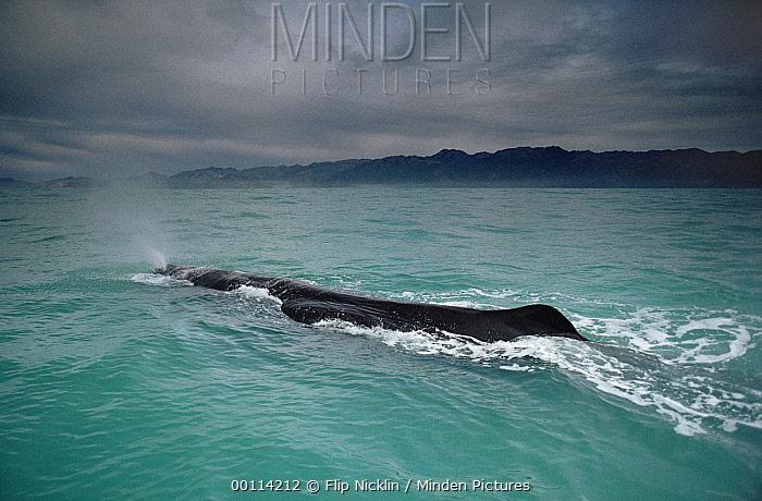 Sperm Whale (Physeter macrocephalus) surfacing, New Zealand  -  Flip Nicklin