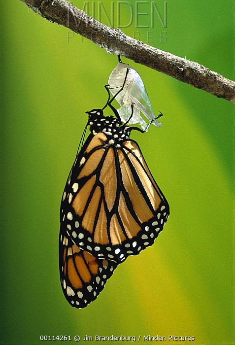 Monarch (Danaus plexippus) butterfly emerging from cocoon, Minnesota  -  Jim Brandenburg