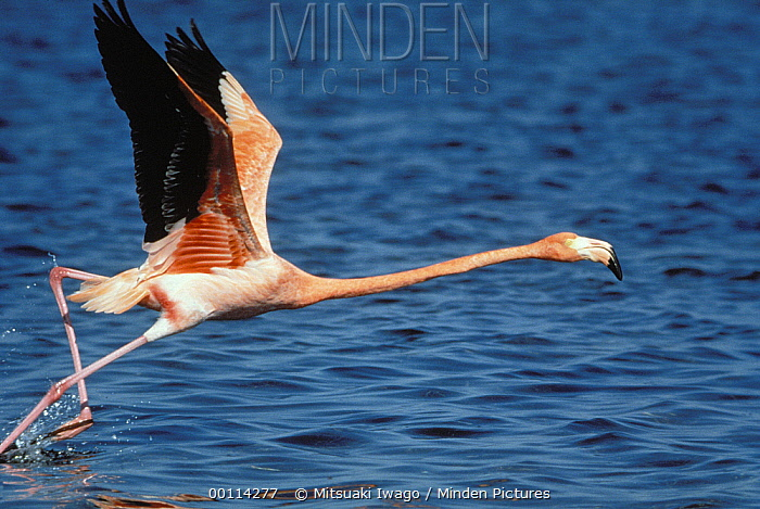 Greater Flamingo (Phoenicopterus ruber) taking off from water, Africa  -  Mitsuaki Iwago