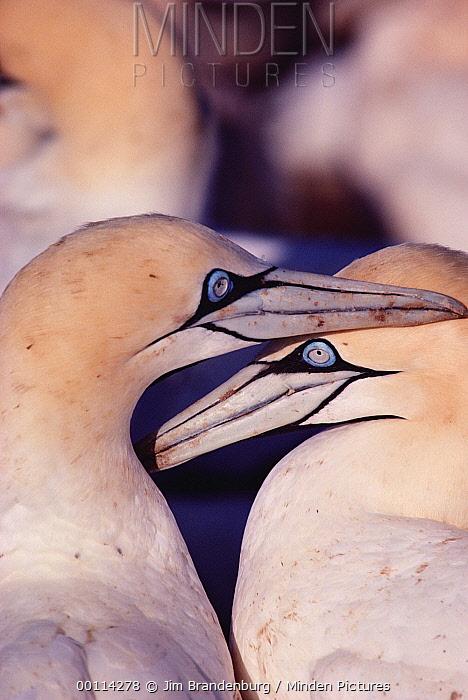 Cape Gannet (Morus capensis) couple courting, Namibia  -  Jim Brandenburg