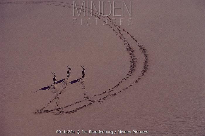 Gemsbok (Oryx gazella) trio running on sand dune, Namib Desert, Namibia  -  Jim Brandenburg