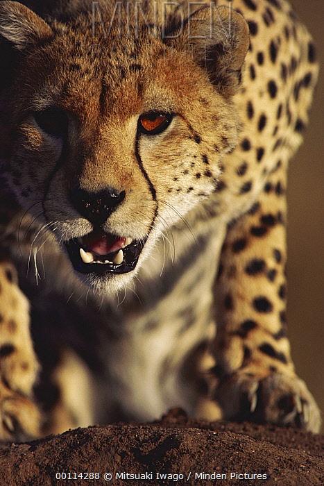 Cheetah (Acinonyx jubatus) portrait, Serengeti, Tanzania  -  Mitsuaki Iwago