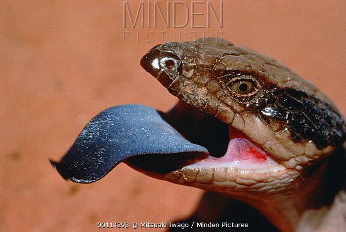 Eastern Blue-tongue Skink (Tiliqua scincoides) showing tongue, Australia  -  Mitsuaki Iwago