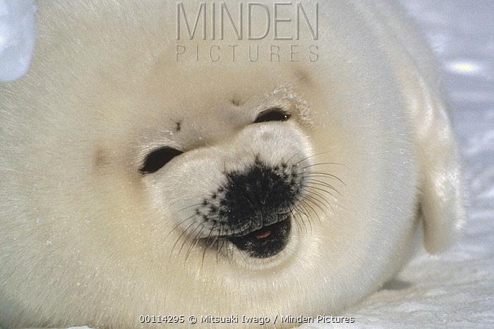 Harp Seal (Phoca groenlandicus) pup portrait, Gulf of St Lawrence, Canada  -  Mitsuaki Iwago