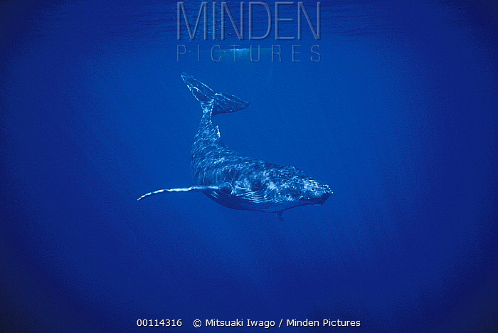 Humpback Whale (Megaptera novaeangliae) diving, Hawaii  -  Mitsuaki Iwago