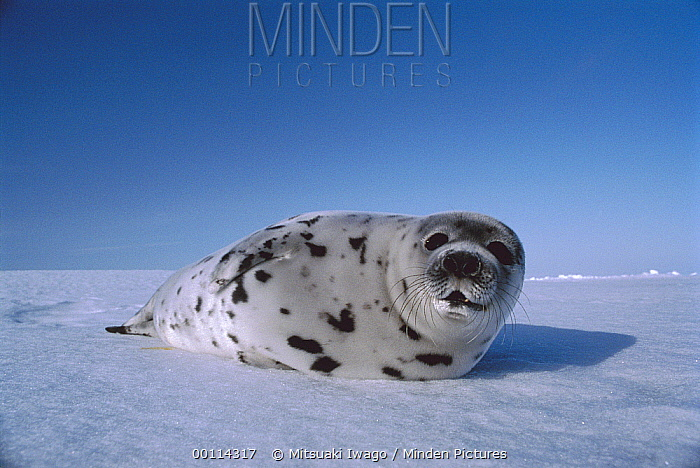 Harp Seal (Phoca groenlandicus) resting on snow, Gulf of St Lawrence, Canada  -  Mitsuaki Iwago
