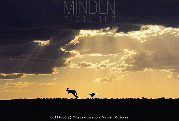 Red Kangaroo (Macropus rufus) pair with clearing storm at sunset, Sturt National Park, Australia  -  Mitsuaki Iwago