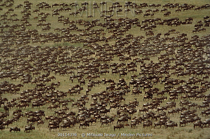 Blue Wildebeest (Connochaetes taurinus) herd migrating, Serengeti  -  Mitsuaki Iwago
