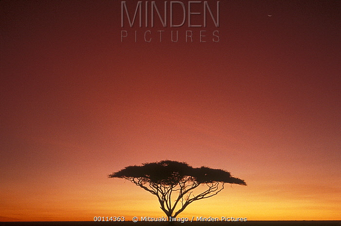 Whistling Thorn (Acacia drepanolobium) tree on savannah at sunset, Serengeti  -  Mitsuaki Iwago
