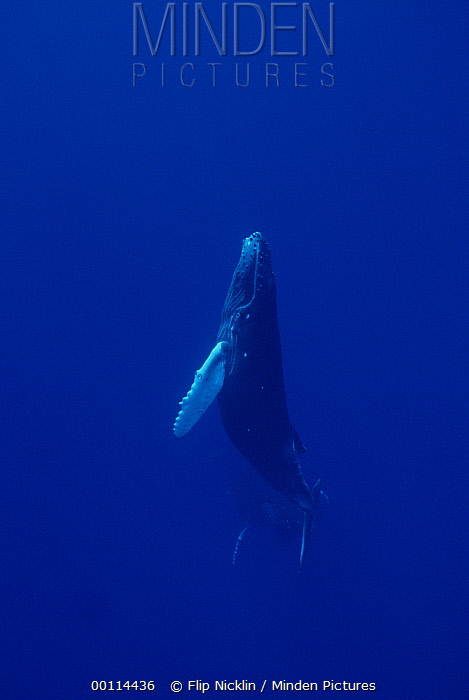 Humpback Whale (Megaptera novaeangliae) curious calf with mother watching in distance, Maui, Hawaii - notice must accompany publication; photo obtained under NMFS permit 987  -  Flip  Nicklin
