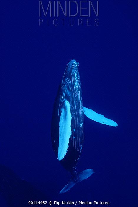 Humpback Whale (Megaptera novaeangliae) curious calf, Maui, Hawaii - notice must accompany publication; photo obtained under NMFS permit 987  -  Flip  Nicklin