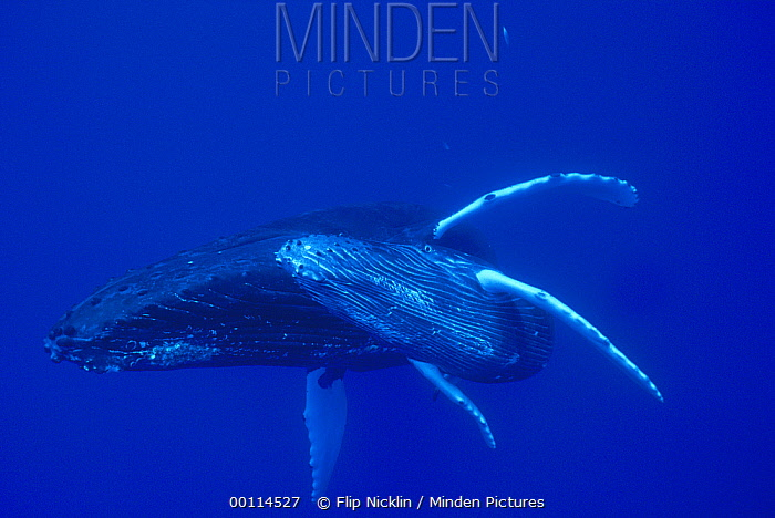 Humpback Whale (Megaptera novaeangliae) mother and calf, Maui, Hawaii - notice must accompany publication; photo obtained under NMFS permit 987  -  Flip  Nicklin
