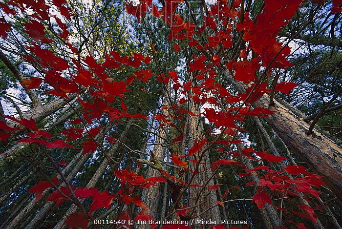 Red autumn leaves in forest, Minnesota  -  Jim Brandenburg
