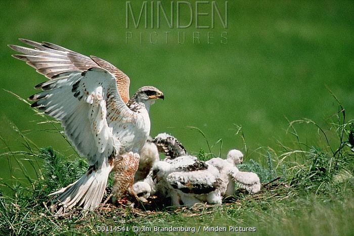 Ferruginous Hawk (Buteo regalis) and chicks on prairie nest, South Dakota  -  Jim Brandenburg