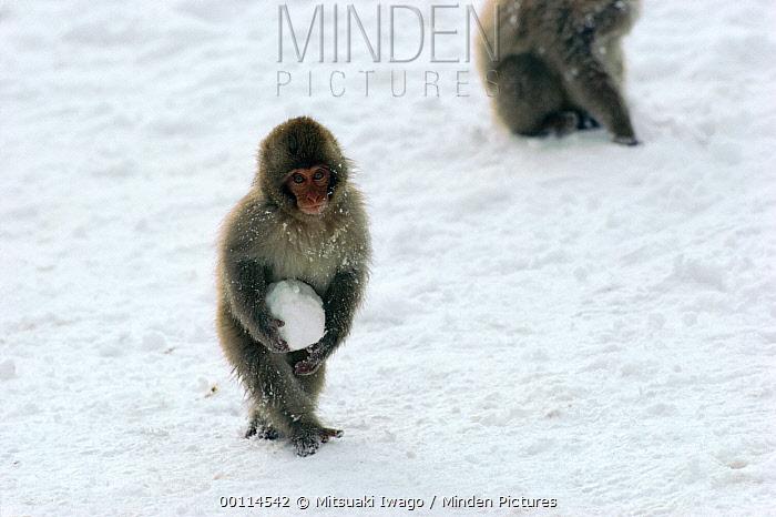 Japanese Macaque (Macaca fuscata) young holding a snow ball, Japan  -  Mitsuaki Iwago