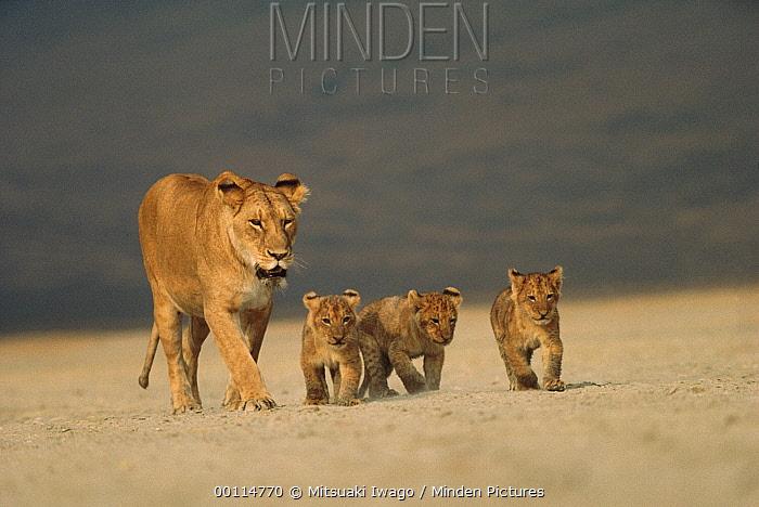 African Lion (Panthera leo) mother walking with three cubs, Serengeti National Park, Tanzania  -  Mitsuaki Iwago