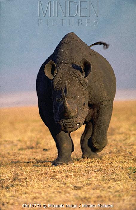 Black Rhinoceros (Diceros bicornis) charging, Serengeti National Park, Tanzania  -  Mitsuaki Iwago